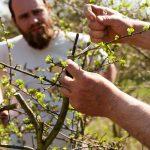 Jak na množení ovocných stromů