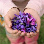 Fialky, voňavé krásky s uklidňujícím účinkem